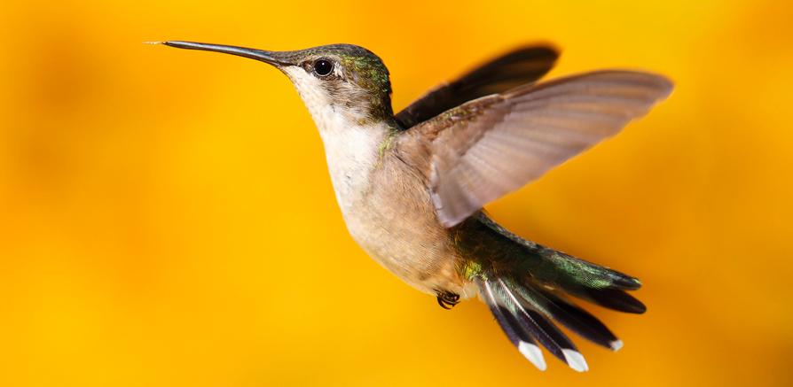 Hummingbird-Update
